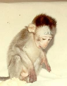 """A monkey from a vivisection lab has the word """"Crap"""" tattooed on his forehead. only an insane mad scientist would be capable of not only torturing her, but physically painfully degrading her. pity those for having been born into a world of human madness."""