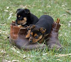 Puppies in boots! Australian Sheep Dogs, Aussie Dogs, Baby Animals, Cute Animals, Choosing A Dog, Cute Funny Dogs, Wild Dogs, Dogs And Puppies, Doggies
