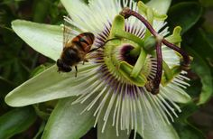 https://flic.kr/p/JsnVZT | Hoverfly | Eristalis on passionflower