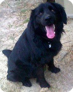 Takoma Park, MD - Flat-Coated Retriever Mix. Meet Gus, a dog for adoption. http://www.adoptapet.com/pet/10716691-takoma-park-maryland-flat-coated-retriever-mix