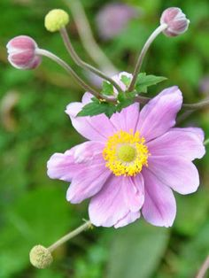Photo of Anemone hupenensis var. japonica 'Queen Charlotte'