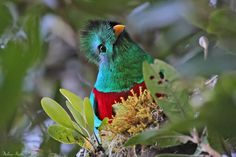 Want to discover art related to quetzal? Check out inspiring examples of quetzal artwork on DeviantArt, and get inspired by our community of talented artists. Fluffy Animals, Cute Animals, Rainforest Birds, Ancient Aztecs, Mesoamerican, Tropical Forest, Vertebrates, Bird Pictures, Wild Birds