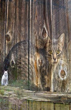 Cat Imaged Onto Side Of Old Barn Boards
