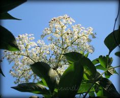 elder blossum, Sambucus