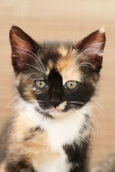This little calico kitten is over the top cute.