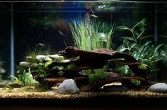 ♥ Aquarium Ideas ♥ 29 gallon Java Moss small Java Ferns and artificial plants My first tank so nothing elaborate yet Im still looking for ideas to have it end up looking as natural as possible Betta Fish Tank, Aquarium Fish Tank, Planted Aquarium, Discus Tank, Fish Aquariums, 29 Gallon Aquarium, 10 Gallon Fish Tank, Aquarium Setup, Aquarium Design