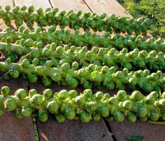 Brussel sprouts are one of the hardiest of fall crops.