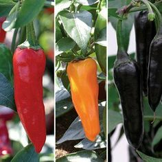 """Chenzo Chili Pepper - Two (2) Live Plants - Not Seeds -Each 4"""" to 7"""" Tall- In 3.5 Inch Pots. #chenzo #plant"""