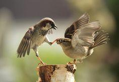 Dos gorriones luchan por la comida en el jardín. Fotografía de Urs Shmidli en Sherz, Suiza.  Al parecer el gorrioncito macho le cerró el piquito, para que dejara de discutir.