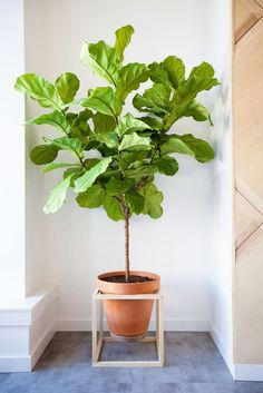 Fiddle Ficus suspended in a wooden cube