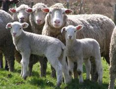 Crossbred fine wool ewes   with their lambs