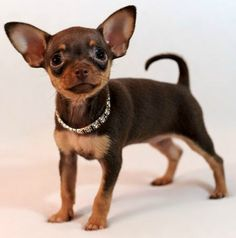Did you think this was a Chihuahua?  It's not, it is really a Russian Toy Dog.  Also known as the Russkiy Toy Terrier, Russian Toy Dog, Russian Terrier, Moscovian Miniature Terrier, and Moscow Toy Terrier