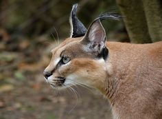 The caracal (Caracal caracal), also known as the desert lynx, is a wild cat widely distributed across Africa, central Asia, and southwest Asia into India. Description from imgarcade.com. I searched for this on bing.com/images