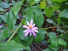 Grewia occidentalis De Hortu - Amsterdam http://unpiccologiardino.blogspot.it/2014/09/dallorto-botanico-di-amsterdam-la-serra_18.html