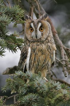 long-eared owl   birds of prey + wildlife photography