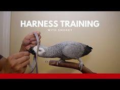 Harness Training Your Parrot wingsNpaws Nov 2017 Conure Cage, Conure Bird, Parrot Food Recipe, Bird Stand, African Grey Parrot, Bird Toys, Cockatiel, Cute Birds, Pet Stuff