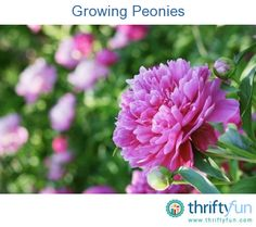 This guide is about growing peonies. These hardy perennials come in a variety of colors and produce beautiful flowers year after year.