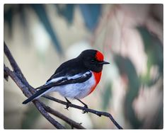 Red-capped Robin - male Mulligan's Flat Woodland Sanctuary, ACT