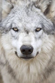 Timber wolf.....what a lovely face.                                                                                                                                                                                 More
