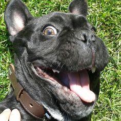 Happy French Bulldog Face