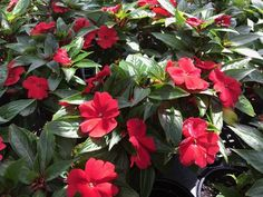"""Impatien hawkeri (New Guinea) 'Celebrette Red' Zone: Annual Height: 8-10"""" x 8-10"""" Light Needs: Part shade to shade Large, vibrant flowers on compact, mounded plants that bloom Mid-Spring to Early Fall. Attracts butterflies and hummingbirds. Can be used indoors, but prefers bright light. Ideal for mass planting, borders, containers, and baskets. Fertilize with a liquid fertilizer every 2-3 weeks."""