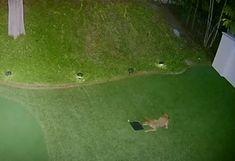 Kojootin+öiset+hupihetket:+Valvontakamera+ikuisti+leikit+golfpallon+kanssa+–+katso+video Looney Tunes, Golf Courses, Youtube, Sports, Sport, Youtubers