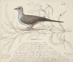 Ludwig Becker, Gullomalla pigeon, 1861
