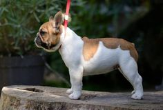 For sale: French Bulldog - Female /  Paris