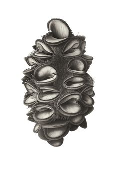 "Charcoal drawing 'Banksia Seed Head' by Susannah Blaxill. ""The final subject choice was deeply black and very satisfying to draw."" I find that it is also very satisfying to look at! Botanical Drawings, Botanical Art, Botanical Illustration, Australian Wildflowers, Australian Flowers, Pencil Drawing Tutorials, Contour Drawings, Drawing Faces, Painting Tutorials"