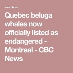 Quebec beluga whales now officially listed as endangered - Montreal - CBC News