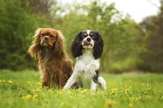 Separation anxiety isn't really exclusive to specific breeds, but there are some dog breeds that seem to be at a higher risk than others. While there are also many factors to separation anxiety, some dogs seem to fall victim to …