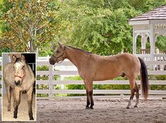This article is to encourage our many horse friends to consider the PMU Horse, and the PMU Industry to do more for PMU foals an Editorial by Bob Pruitt CEO InfoHorse.com