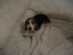 Koiran takana sängyllä on kaksi valkoista tuubimaista tyynynpäällistä. Toinen on parimetrinen ja toinen noin metrin. Ne voi täyttää esim. vieraspeitoilla tai muulla pehmeällä ja suht kevyellä ja pitää tuubityynyinä sängyn päällä. Ne täytetään päästä, joka kiristetään naruilla umpeen.