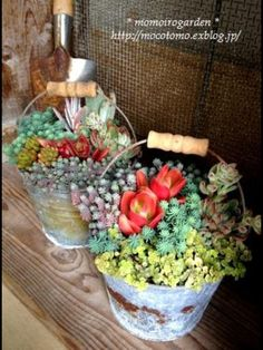 Succulents in old galvo buckets