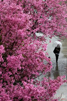 A woman shields herself with an umbrella under light rain at #California State University, Northridge, Monday, March 2, 2015, in Northridge, Calif. Wet weather covered the Los Angeles region, including heavy hail in Huntington Beach, where at least an inch of icy pellets coated the sand on the beach, the National Weather Service said. (AP Photo/Julio Cortez)