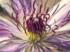 https://flic.kr/p/J3N2nF | Clematis | The central portion of a Clematis flower. I used a 15x set of Macro filters.