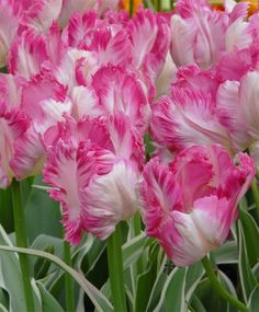 Tulip Silver Parrot - Parrot Tulips - Tulips - Flower Bulb Index