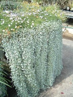 Silver Falls//Dichondra - Have some this year in pot w/red - very pretty and trails like crazy