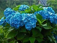 Beautiful bright blue hydrangea wedding flowers