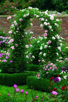 St Swithun - The Fragrant Rose Company