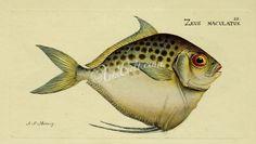 Moonfish      ...