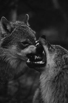 "Wolves: ""Caught In-Between Open Jaws!"""