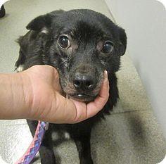 Oak Ridge, NJ - Second Chance Pet Adoption League, Schipperke/Chihuahua Mix. Meet Casey, a dog for adoption. http://www.adoptapet.com/pet/11438953-oak-ridge-new-jersey-schipperke-mix