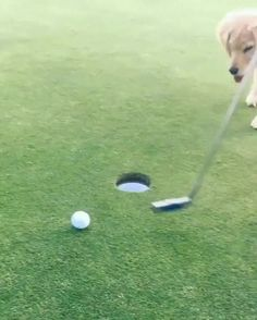 It's always a hole in one when you have a puppy to help!