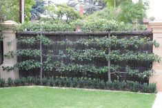 Espalier Fruit Trees: That's Natty! What to do when you are faced with a blank wall, but you want fruit trees? Why - just use the ancient technique of espalier! Fruit Garden, Garden Trees, Edible Garden, Vegetable Garden, Vertical Gardens, Back Gardens, Outdoor Gardens, Courtyard Gardens, Espalier Fruit Trees