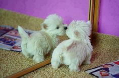 An adorable baby Westie admiring herself - she is precious <3