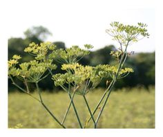 Pleasant and gentle, fennel is a great after dinner companion that soothes and supports your digestion.