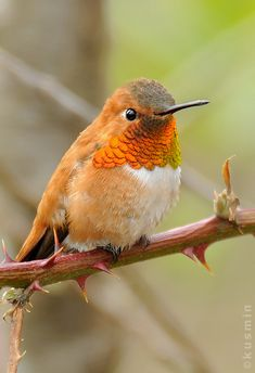 Rufous hummingbird is one of the many species of these little birds that pollinate flowers