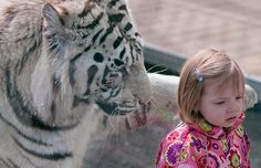 These breathtaking pictures appear to show a little girl seconds away from becoming a hungry tiger's lunch. Little Avery Thompson seems oblivious to the 370lb Royal White Bengal Tiger as he stretches out a massive paw in an attempt to touch her...