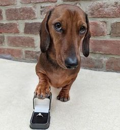 Only a smart man would get his dachshund to do the asking for him! How could you refuse this proposal?! #dachshund